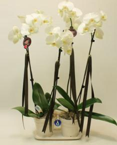 4lü Beyaz Orkide
