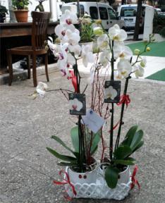 İkiz Saksıda Orkideler