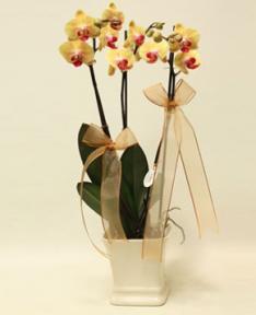 Sarı Orkideler